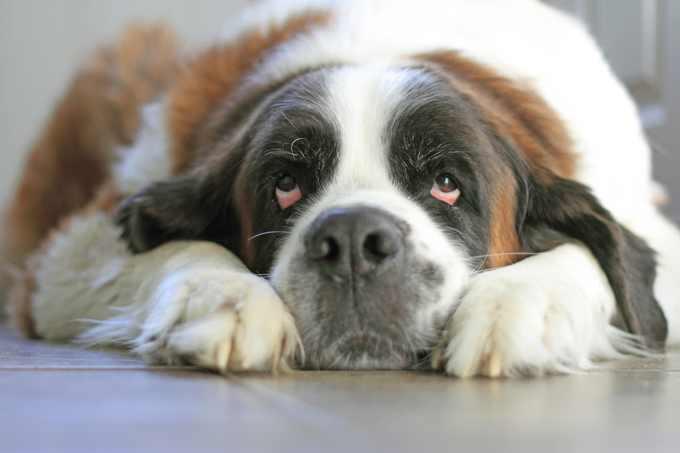 saint-bernard-dogs-puppies-10.jpg