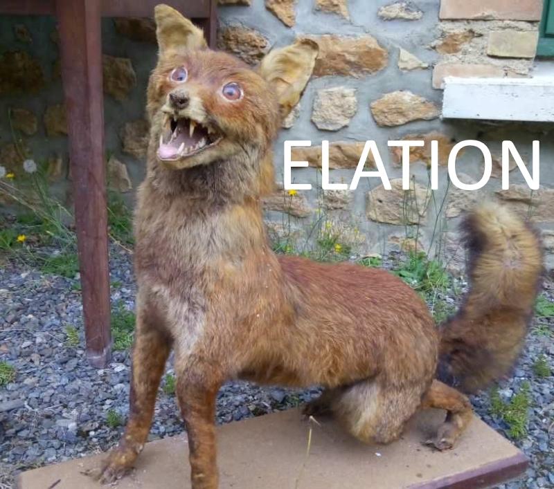 elated fox.jpg